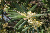Olive tree blossom, Spain — Stock Photo