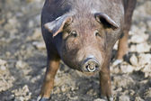 Iberian pig in the Valle de los Pedroches — Stockfoto