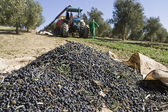 Olives on a canvas on the ground in a field of olive trees near Jaen — Stock Photo
