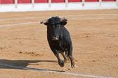 勇敢的公牛在斗牛、 奔牛 — 图库照片