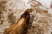 Español lucha valiente toro en el establo — Foto de Stock
