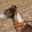 Greyhound is breed of dog native of Spain — Stock Photo #34506729