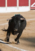 Capture of the figure of a brave bull in a bullfight — Stockfoto