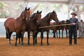 Equestrian test functionality with 3 pure Spanish horses — Stock Photo