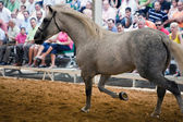 Equestrian test of morphology to pure Spanish horses — Zdjęcie stockowe