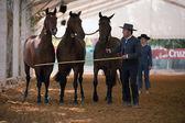 Pure Spanish horses — Stockfoto