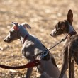 Greyhound is breed of dog native of Spain — Photo #34516193