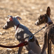 Greyhound is breed of dog native of Spain — Stock Photo #34516193
