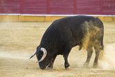 Capture of the figure of a brave bull in a bullfight, Spain — Stock Photo