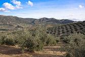 Cultivo ecológico de olivos en la provincia de jaén — Foto de Stock
