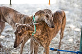The Greyhound is a breed of dog native of Spain — Photo