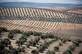 Ecological cultivation of olive trees in the province of Jaen — Stock Photo