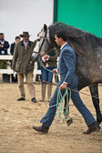 Jeździec badania morfologii czysty koni hiszpańskich — Zdjęcie stockowe