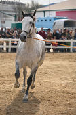 Equestrian test of morphology to pure Spanish horses — 图库照片