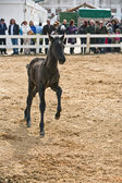 Foal of pure breed Spanish running in equestrian event — Stock Photo