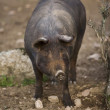 Iberian pig in the Valle de los Pedroches — Stock Photo