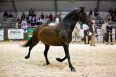 Equestrian test of morphology to pure Spanish horses — Stok fotoğraf