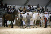 Equestrian test of morphology to pure Spanish horses — Foto Stock