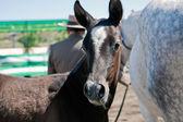 Equestrian test of morphology to pure Spanish horses — ストック写真