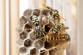 In wasp larvae brood cells — Stock Photo