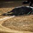 Dragging of bull died after fight in bullring of Pozoblanco — Stock Photo #36716377