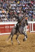 Spanish bullfighter on horseback Leonardo Hernandez putting the bull banderillas in Pozoblanco — Stock Photo