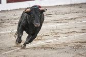 Byk około 650 kg, galopujący na piasku prawo, gdy właśnie dostałem z bullpen — Zdjęcie stockowe