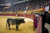 Brave bull opposite to the refuge in a live televised bullfight — Stock Photo
