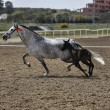 Stock Photo: Mare and her foal in meadow competing in exercise of equestri