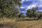 Ecological cultivation of olive trees in the province of Jaen, Spain — Stock Photo