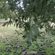 Olives have fallen to the ground due to the strong winds and rains of the winter — Stock Video