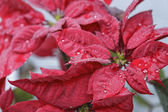 Red poinsettia flower (Euphorbia pulcherrima), closeup — Stock Photo