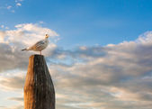 White dove standing on the stick during sunset — Stock Photo