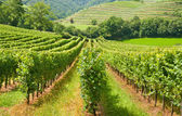 Typical european rows of vineyard — Stock Photo