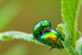 2 colorful small bugs in a conseiving process — Stock Photo