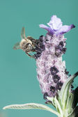 Close-up of a Bee — Stock Photo