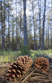 Pinecone in the forest — Stock Photo