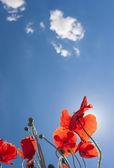 Poppies growing — Stockfoto