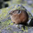 Stock Photo: Pikin rocky habitat