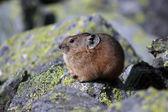 Pika in rocky habitat — Stock Photo