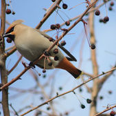 Waxwings — Stock Photo