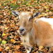 Goat in the autumn leaves — Stock Photo