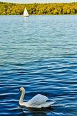 Swan and a sailboat on Danube river — Stock Photo