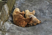 Two cute brown bears sleeping tucked together — Stock Photo