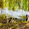 Ducks and pond — Stock Photo