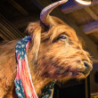 Stock Photo: Buffalo with americflag