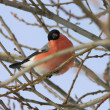 Beautiful bullfinch on tree — Stock Photo