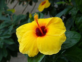 Yellow flower in bloom in the summer — Stock Photo