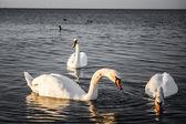 3 つの白鳥します。 — ストック写真