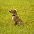 Dog Golden Retriever — Stock Photo